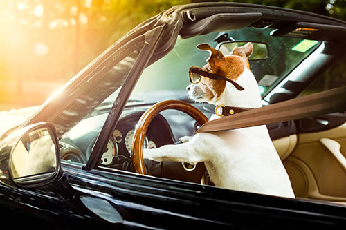 Dog focused on driving